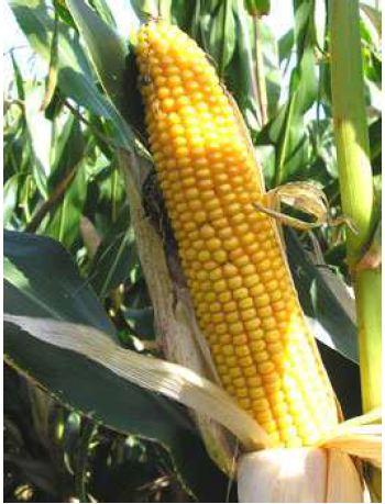 Photo du Variétés de maïs mixte Malton