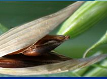 Photo du variétés d\'avoine Fringante