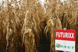 Photo du Variétés de maïs grain Futurixx