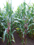 Photo du Variétés de maïs fourrager KOURTOIS