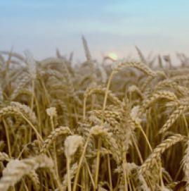 Photo du variétés blé d'hiver SY Moisson