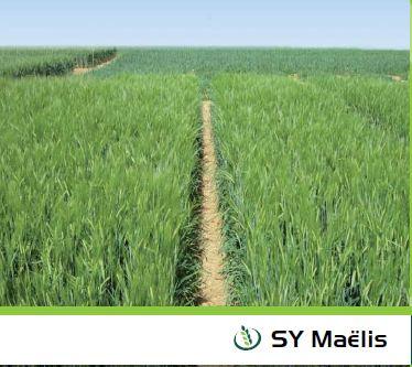 Photo du variétés d'orge d'hiver 2 rangs SY Maelis
