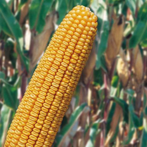 Photo du Variétés de maïs grain Almagro