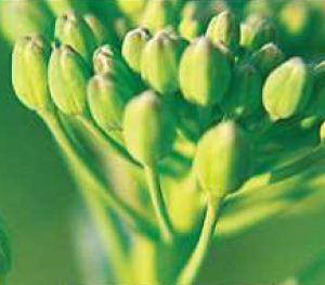Photo du variétés de colza d'hiver Hybrirock