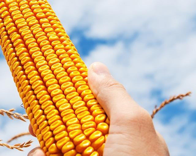 Photo du Variétés de maïs grain Idoll