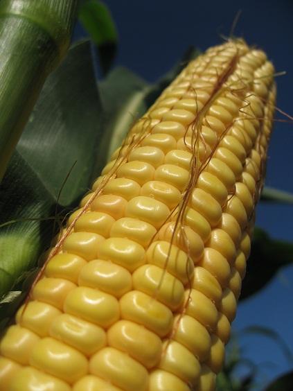 Photo du Variétés de maïs fourrager Beautiful