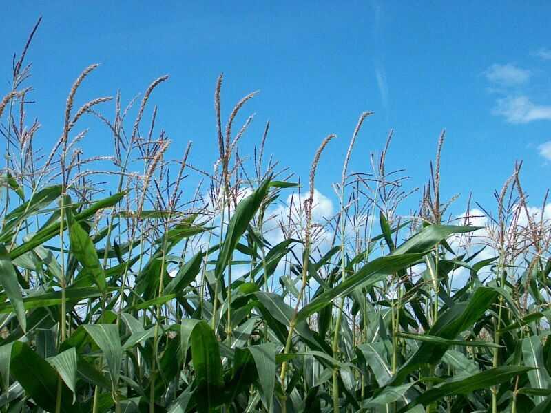 Photo du Variétés de maïs fourrager Sy Kairo