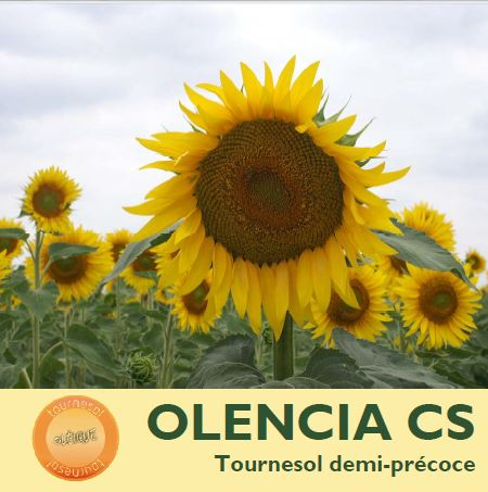 Photo du Hybride simple Olencia CS