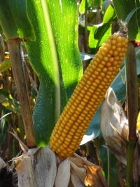 Photo du Variétés de maïs grain Mas 15P