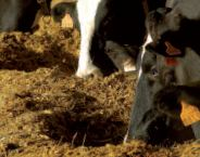 Photo du Variétés de maïs fourrager Geoxx